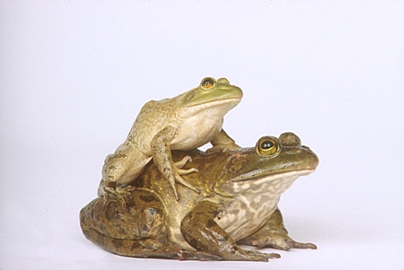 FRG 01 RK0025 01 © Kimball Stock Bullfrog Sitting On Seamless Paper Front View
