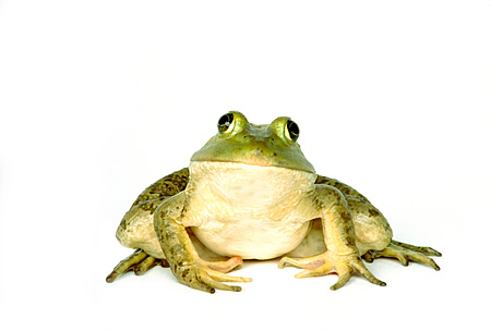 FRG 01 RK0025 05 © Kimball Stock Bullfrog Sitting On Seamless Paper Front View