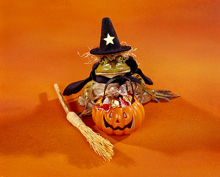 FRG 01 RK0031 01 © Kimball Stock Halloween frog dressed as a with w/pumpkin of candy