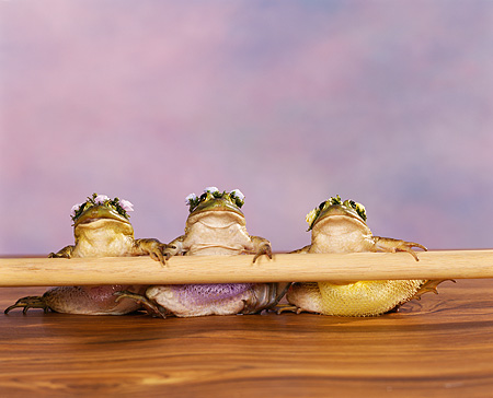 FRG 01 RK0046 03 © Kimball Stock Three Bullfrog Ballerinas Leaning On Bar Facing Camera Purple Mottled Background