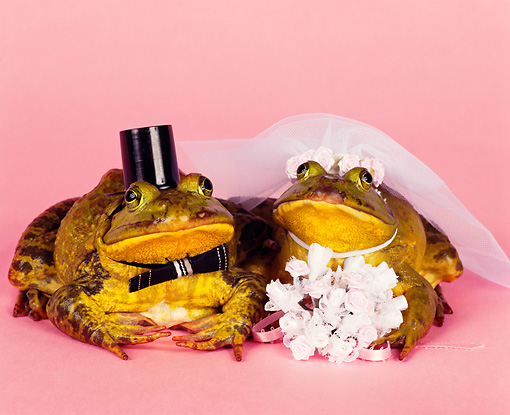 FRG 01 RK0050 17 © Kimball Stock Two Frogs Dressed In Bride And Groom Costume On Pink Seamless Studio