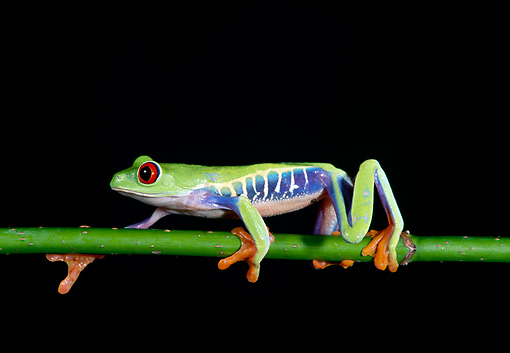 FRG 01 TK0001 01 © Kimball Stock Red-Eyed Tree Frog Climbing On Branch