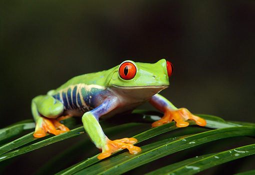 FRG 01 TK0002 01 © Kimball Stock Red-Eyed Tree Frog Sitting On Palm Frond