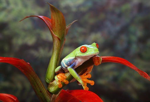 FRG 01 TK0003 01 © Kimball Stock Red-Eyed Tree Frog Sitting On Colorful Plant
