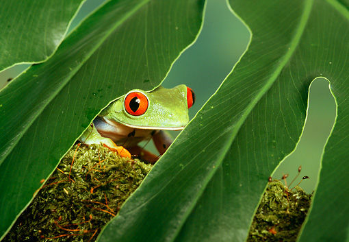FRG 01 TK0004 01 © Kimball Stock Red-Eyed Tree Frog Sitting Under Palm Frond