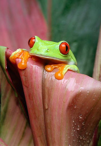 FRG 01 TK0005 01 © Kimball Stock Red-Eyed Tree Frog Sitting On Pink Plant Leaf