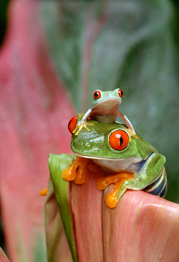 FRG 01 TK0007 01 © Kimball Stock Red-Eyed Tree Frog Adult And Young Sitting On Pink Plant Leaf