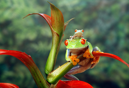 FRG 01 TK0008 01 © Kimball Stock Red-Eyed Tree Frog Adult And Young Sitting On Plant