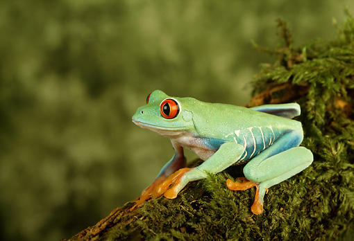 FRG 01 TK0009 01 © Kimball Stock Red-Eyed Tree Frog Sitting On Moss