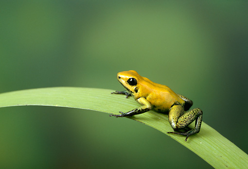 FRG 01 TK0012 01 © Kimball Stock Golden Poison Frog Sitting On Palm Frond