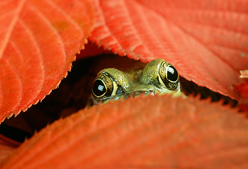 FRG 01 TK0018 01 © Kimball Stock Green Frog Peering From Under Red Autumn Leaves