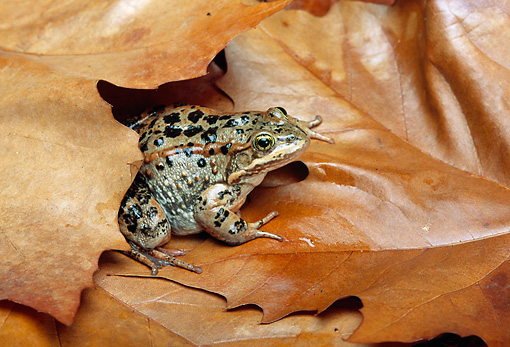 FRG 01 TK0020 01 © Kimball Stock Columbia Spotted Frog Sitting On Autumn Leaves