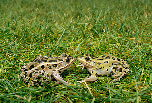 FRG 01 TK0021 01 © Kimball Stock Two Southern Leopard Frogs Facing Each Other On Grass