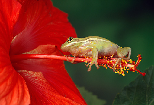 FRG 01 TK0022 01 © Kimball Stock Green Tree Frog Climbing On Pistil Of Red Hibiscus Flower