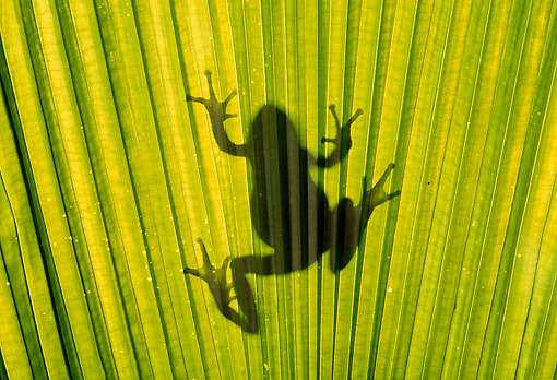 FRG 01 TK0024 01 © Kimball Stock Silhouette Of Pacific Tree Frog Climbing On Palm Frond