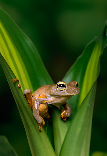 FRG 01 TK0027 01 © Kimball Stock Emerald-Eyed Tree Frog Stitting Between Plant Leaves