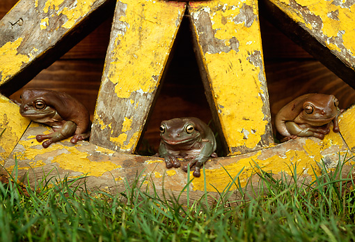 FRG 01 TK0033 01 © Kimball Stock Three White's Tree Frogs Stitting On Wagon Wheel
