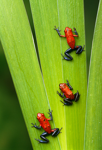 FRG 01 TK0034 01 © Kimball Stock Three Strawberry Poison Dart Frogs Climbing On Leaf