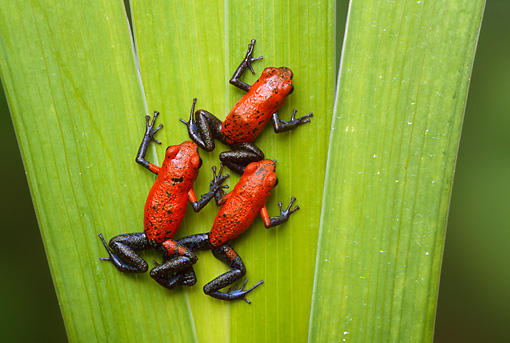 FRG 01 TK0035 01 © Kimball Stock Three Strawberry Poison Dart Frogs Climbing On Leaf