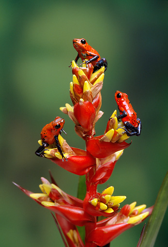 FRG 01 TK0036 01 © Kimball Stock Three Strawberry Poison Dart Frogs Climbing On Plant