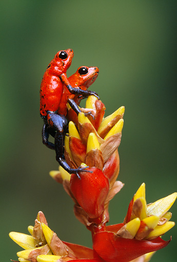 FRG 01 TK0037 01 © Kimball Stock Two Strawberry Poison Dart Frogs Climbing On Plant