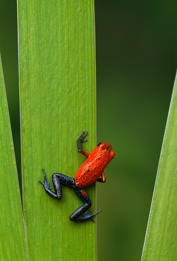FRG 01 TK0038 01 © Kimball Stock Strawberry Poison Dart Frog Climbing On Leaf