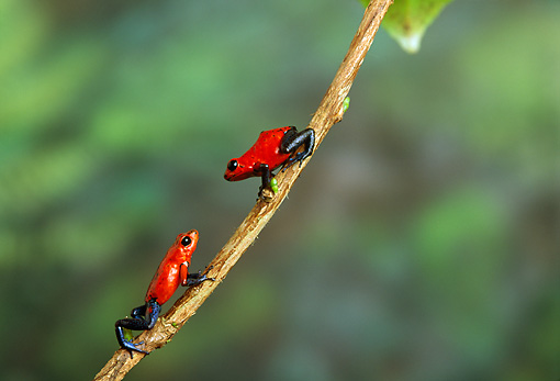 FRG 01 TK0039 01 © Kimball Stock Two Strawberry Poison Dart Frogs Climbing On Vine