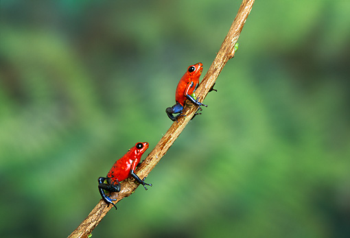 FRG 01 TK0040 01 © Kimball Stock Two Strawberry Poison Dart Frogs Climbing On Vine