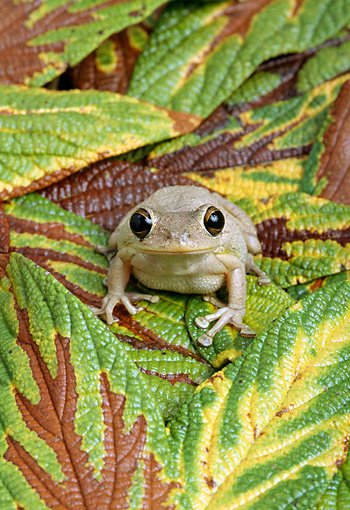FRG 01 TK0041 01 © Kimball Stock Cuban Tree Frog Sitting On Leaves