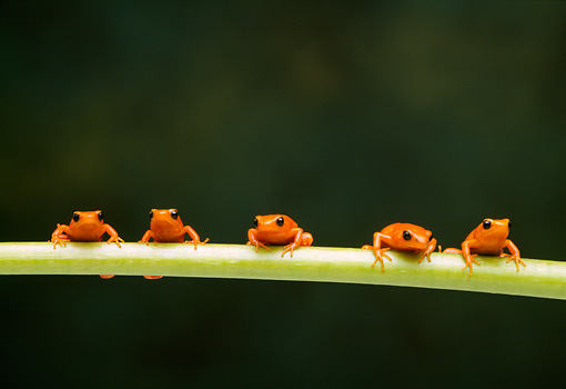 FRG 01 TK0044 01 © Kimball Stock Five Golden Mantella Frogs Climbing On Green Stem Facing Camera