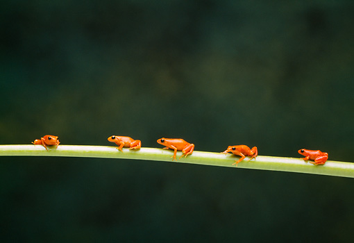 FRG 01 TK0045 01 © Kimball Stock Five Golden Mantella Frogs Climbing On Green Stem