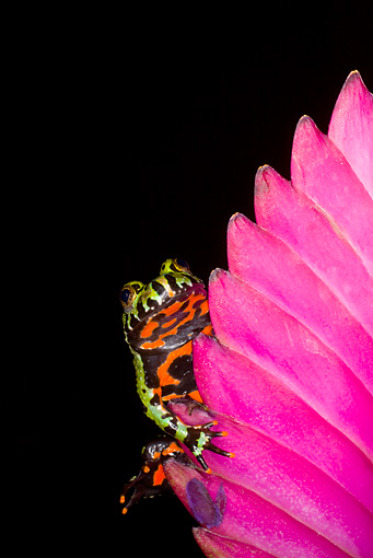 FRG 02 JZ0001 01 © Kimball Stock Fire-Bellied Toad Sitting On Pink Flower In Dark