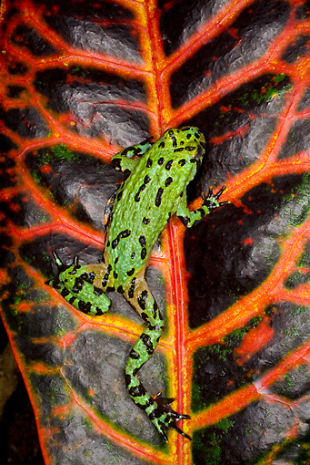 FRG 02 JZ0002 01 © Kimball Stock Fire-Bellied Toad Sitting On Black And Orange Leaf