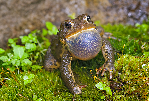 FRG 02 TK0001 01 © Kimball Stock American Toad Sitting On Grass Croaking