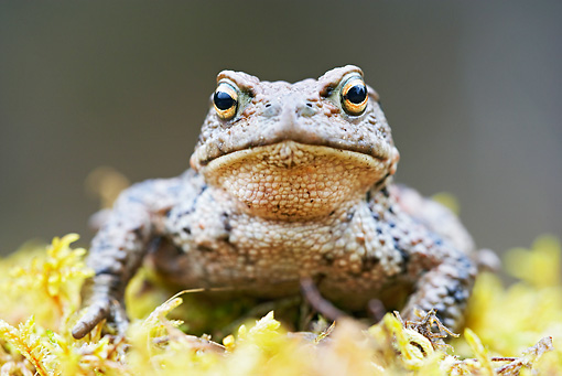 FRG 02 WF0002 01 © Kimball Stock European Common Toad Male Resting On Moss