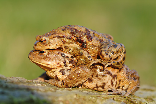 FRG 02 WF0005 01 © Kimball Stock European Common Toads On Breeding Migration