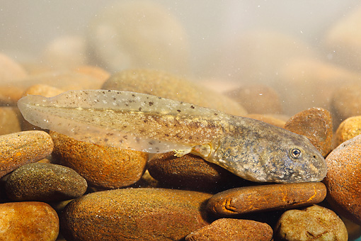 FRG 02 WF0007 01 © Kimball Stock Common Midwife Toad Tadpole On Stones Underwater
