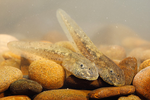 FRG 02 WF0008 01 © Kimball Stock Common Midwife Toad Tadpoles On Stones Underwater