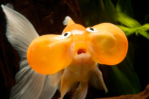 FSH 01 JE0005 01 © Kimball Stock Close-Up Of Bubble-Eyed Goldfish Swimming In Aquarium