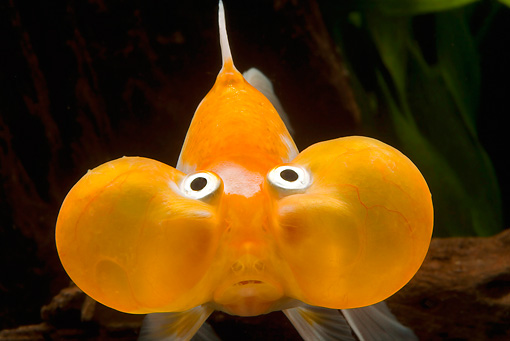 FSH 01 JE0006 01 © Kimball Stock Close-Up Of Bubble-Eyed Goldfish Swimming In Aquarium