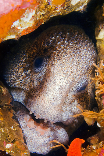 FSH 01 JM0050 01 © Kimball Stock Head Shot Of Wolf Eel Alaska