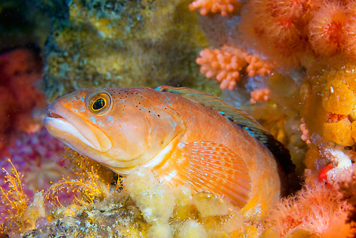 FSH 01 JM0058 01 © Kimball Stock Rockfish By Rocks And Coral Alaska