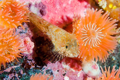 FSH 01 JM0061 01 © Kimball Stock Sculpin By Rocks And Anemones Alaska