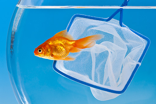 FSH 01 KH0012 01 © Kimball Stock Goldfish Escaping From Net In Aquarium