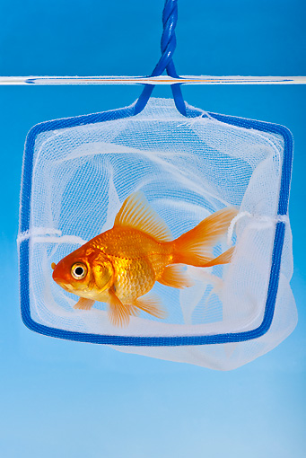 FSH 01 KH0013 01 © Kimball Stock Goldfish Escaping From Net In Aquarium