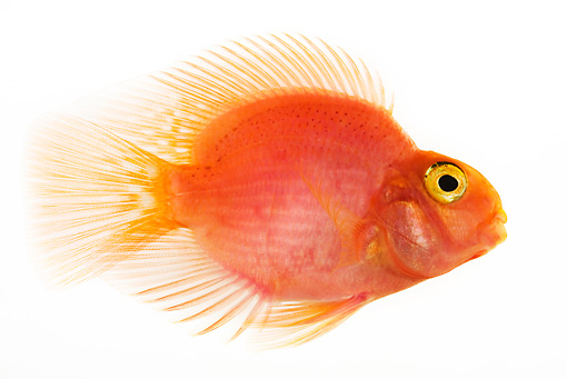 FSH 01 MH0001 01 © Kimball Stock Blood Parrot Fish In Studio