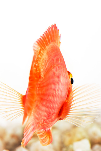 FSH 01 MH0002 01 © Kimball Stock Rear View Of Blood Parrot Fish In Studio