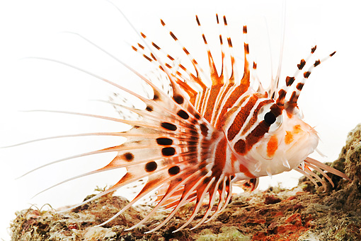 FSH 01 MH0004 01 © Kimball Stock Close Up Of Spotfin Lionfish In Studio