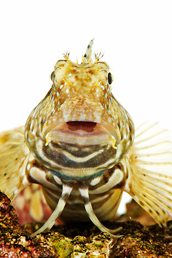 FSH 01 MH0019 01 © Kimball Stock Close Up Of Lawnmover Blenny In Studio
