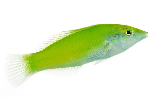 FSH 01 MH0020 01 © Kimball Stock Pastel Green Wrasse In Studio